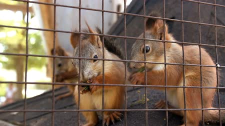 squirrel fur : close-up red squirell (Sciurus vulgaris) eating in the cage