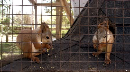 kafes : close-up red squirell (Sciurus vulgaris) eating in the cage