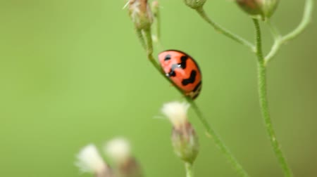 bugs : lady bug Stock Footage