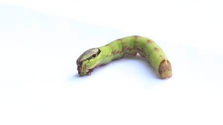 féreg : caterpillar