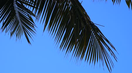 кокос : Silhouette of coconut leaf with blue sky background at seaside Стоковые видеозаписи