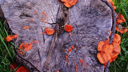 невозделанный : Orange mushroom growth on wooden stump, Pycnoporus cinnabarinus, also known as the cinnabar polypore, Tilt down shot Стоковые видеозаписи