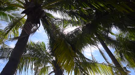 Coconut tree canopy with blue sky