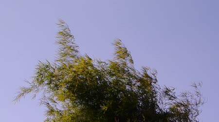 Bamboo leaf at tree top move by wind