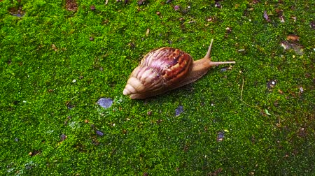 caracol : African Snail crawling on green humid moss close up footage shot with vibrant colour
