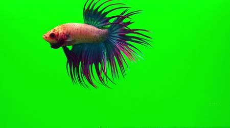 desejo : Super slow motion of vibrant Siamese fighting fish (Betta splendens), well known name is Plakat Thai, Betta is a species in the gourami family, which is a popular fish in the aquarium trade
