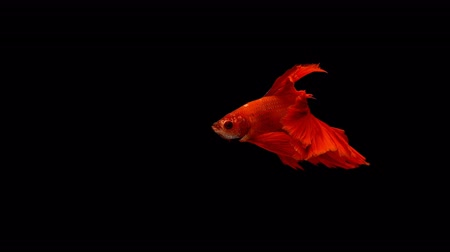 yüzgeçler : Super slow motion of vibrant Siamese fighting fish (Betta splendens), well known name is Plakat Thai, Betta is a species in the gourami family, which is a popular fish in the aquarium trade