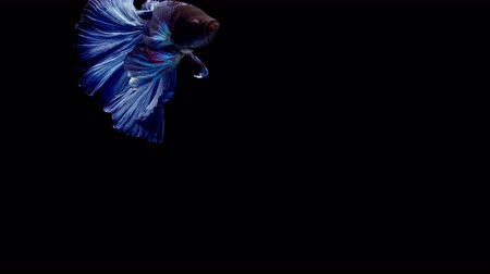 tail fin : Super slow motion of vibrant Siamese fighting fish (Betta splendens), well known name is Plakat Thai, Betta is a species in the gourami family, which is a popular fish in the aquarium trade