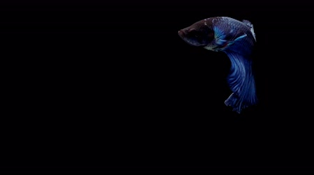 siamese : Super slow motion of vibrant Siamese fighting fish (Betta splendens), well known name is Plakat Thai, Betta is a species in the gourami family, which is a popular fish in the aquarium trade