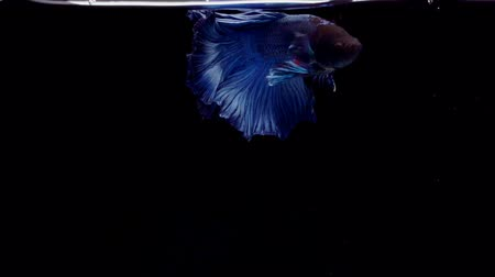 siamese fighting fish : Super slow motion of vibrant Siamese fighting fish (Betta splendens), well known name is Plakat Thai, Betta is a species in the gourami family, which is a popular fish in the aquarium trade