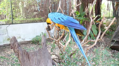 papagaio : Bird Blue-and-yellow macaw standing on branches