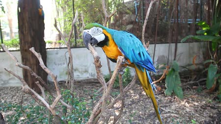 arara : Bird Blue-and-yellow macaw standing on branches