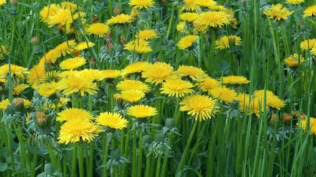 wort : Blooming dandelions (Taraxacum officinale) healing herbs in the grass on shady place