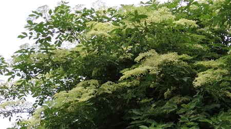 mürver : Blooming elderberry - Sambucus nigra bush swings in the summer breeze Stok Video