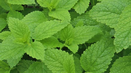 melissa officinalis : Green leaves of Lemon balm - Melissa officinalis in the garden