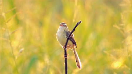ave canora : Thai little bird sitting on branch in nature wild at sunset time - video HD