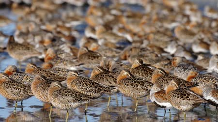 északnyugati : Dunlins, Dowitchers, and Red Knots reseting at Bottle Beach along the Grays Harbor, Washington Stock mozgókép