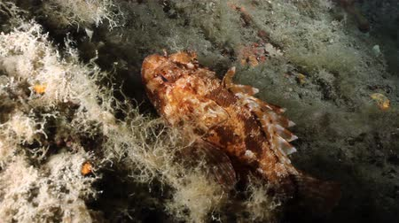 сокрытие : Scorpaena Porcus, a kind of scorpion fish, some plankton anche visible. Shot in the wild, nighttime. Стоковые видеозаписи