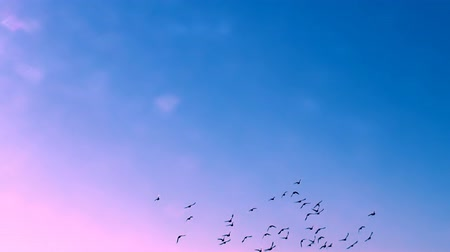 birds flying : This is a beautiful natural video of Flying Flock Of Birds (Doves) In Magical Blue Sunset Sky slow Full HD...Really nice natural video with bright colors, pleasure feelings guaranteed!:) You can use this video in your original projects or websites Stock Footage