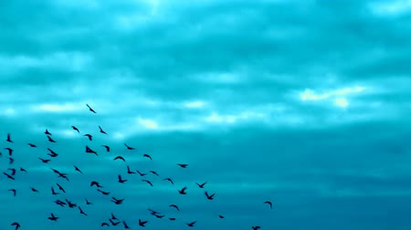 birds flying : This is a beautiful natural video of Flying Flock Of Birds (Doves) In Magical Blue Sunset Sky slow Full HD...Really nice natural video with bright colors, pleasure feelings guaranteed!:) You can use this video in your original projects