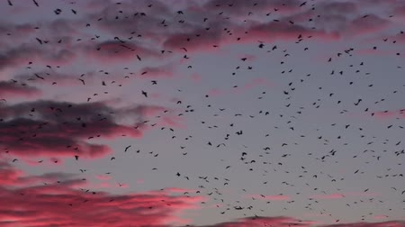 реальное время : Beautiful natural 20s video of migratory birds at mysterious red sunset, birds flying crows on the dark red magical background.