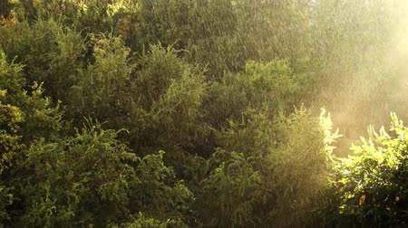 The Sunny Rain Light In The Forest stock background video features beautiful footage of autumn rain in the greenwood forest during sunset.