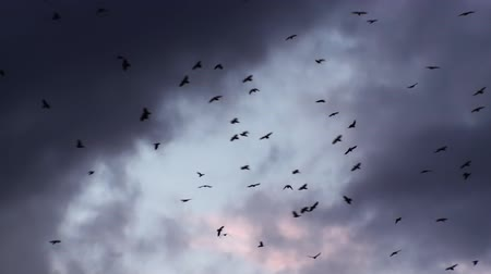 natural video of Abstract Cartoon Flock Of Birds Flying (Crows) on the magical background (Full HD).