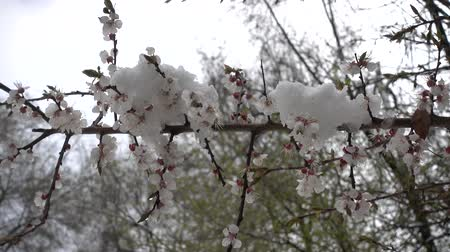 Snow On A Flowering Spring Apricot Tree