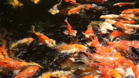 fancy carp in the pool Stock Footage