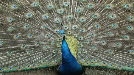 CloseupPeacock displaying plumage2 Stock Footage