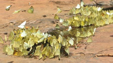yalamak : Diversity of butterfly species, Butterfly eating Salt licks on ground at Pang Sida national park Sa Kaeo, Thailand Stok Video