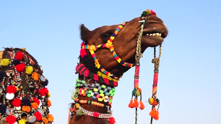 camelo : Camel Festival in Bikaner, India