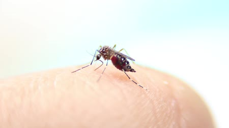присоска : Close-up of a mosquito sucking blood on human skin, Mosquito is carrier of Malaria Encephalitis Dengue, Macro shot