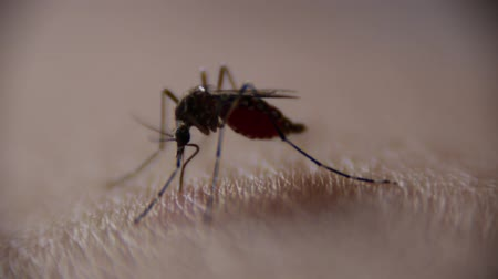 присоска : Close-up of Mosquito sucking blood on human skin, Mosquito is carrier of Malaria Encephalitis Dengue, Macro shot
