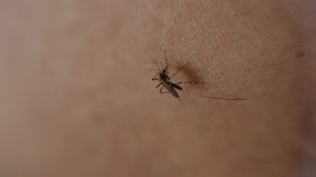 сосать : Close-up of Mosquito sucking blood on human skin, Mosquito is carrier of Malaria Encephalitis Dengue, Macro shot