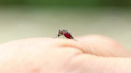 Close-up of a mosquito sucking blood on human skin. Mosquito is carrier of Malaria Encephalitis Dengue. Macro shot