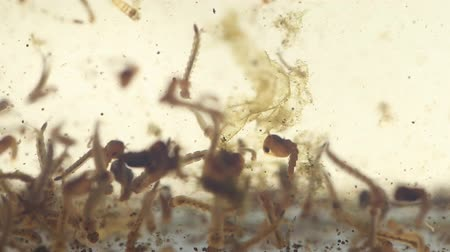 Mosquitos larva, Example in the laboratory - scientific research and development concept.