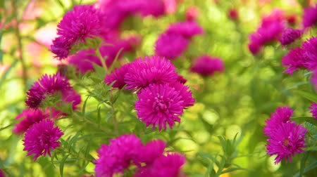 aster amellus : Chrysanthemums autumn flowers