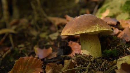 porcini mushrooms : edible mushroom in the forest Stock Footage