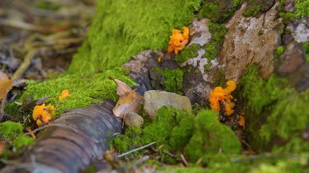 magic mushrooms : poisonous mushrooms in the forest Stock Footage