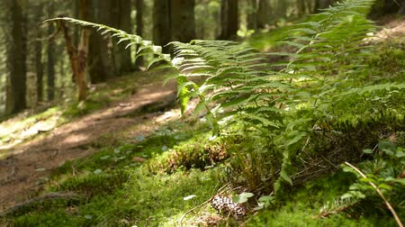 Moss and Fern Covered Forest Floor Stock Footage