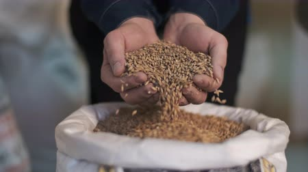 cervejaria : The brewer takes a handful of malt from the bag in the palm of his hand and pours it out