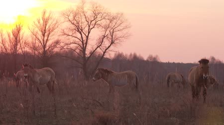 dry zone : Przewalskis wild horses eating dry grass at Chernobyl zone of alienation. Rare footage herd of wild horses at Chernobyl disaster zone