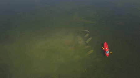 chaluha : Aerial. A manatee family of 6 cows swim with kayakers. Rare shots.