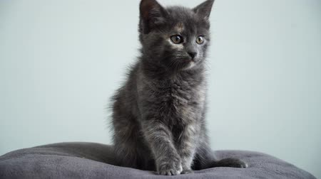 Lovely gray kitten portrait. 4K.