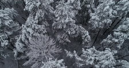país das maravilhas : Aerial view. Frozen forest. Misty day. Trees are covered with snow. 50fps, 4K.