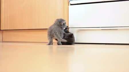 kotě : Grey and black kittens playing with each other Dostupné videozáznamy