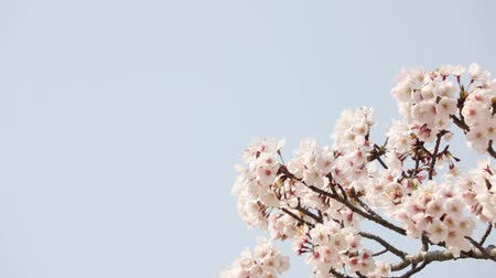 shaking wind : Close up of cherry blossoms in full bloom