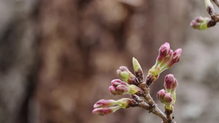 Close up of cherry blossom bud Stock Footage