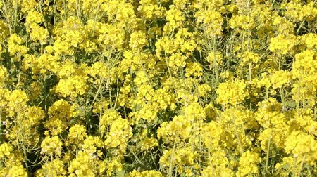 shaking wind : Rape blossoms in full bloom swaying in the wind Stock Footage